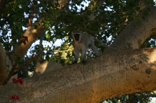 I'm not being crude - this is a Blue Balled Vervet Monkey...