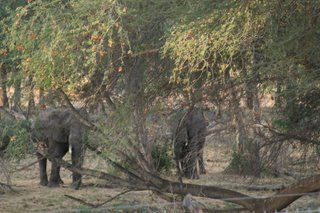 Elephants in the trees...
