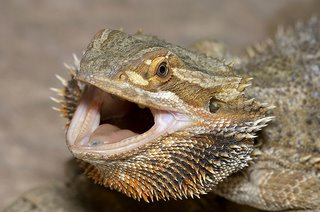 Bearded Dragon Care 2019 The Ultimate Guide for beginner