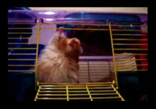 rapping hamster