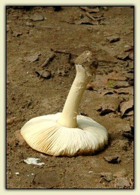 A Huge, Dick-Shaped Fungus