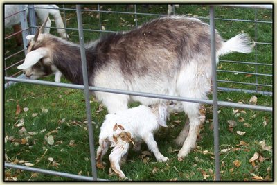 Mommy and Baby Goat