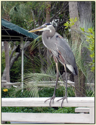 Don's Heron.