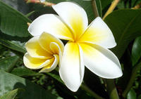 Once again, couldn't pick one favorite, but I do love plumeria.