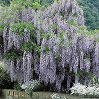 An example of wisteria vine.