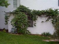 An example of grape vine.