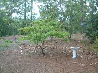 This is the dogwood we moved in its original spot. This photo was taken during the summer when it had leaves.