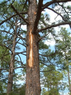 Naked stripe on pine tree from lightening strike.
