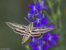 Photo by Rick Scott http://members.cox.net/rmscott/misc/hummingbird_moth.html