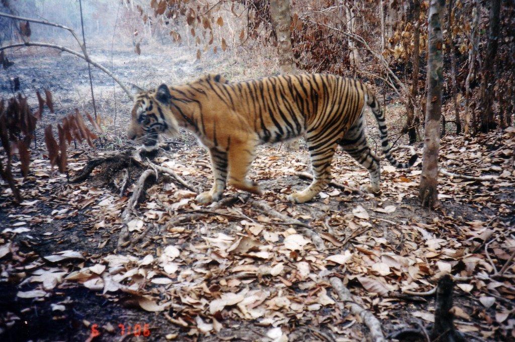 Habitat Menyusut Memaksa Harimau Sumatra Keluar dari Wilayah Aslinya