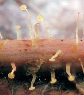 El hongo de uña malyshevoy