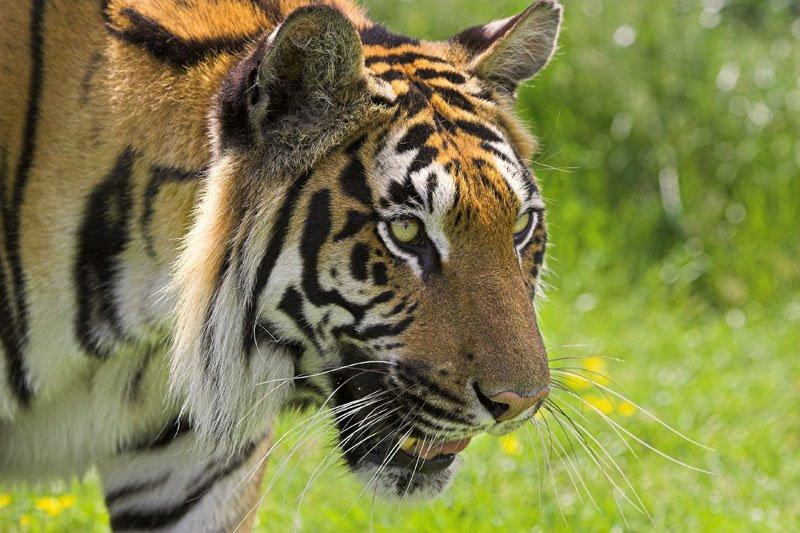 http://tigerkob.blogspot.com/2011/08/maltese-tiger.html