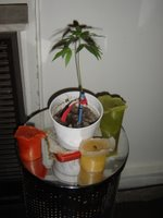 Marucha, la planta que se resiste a crecer