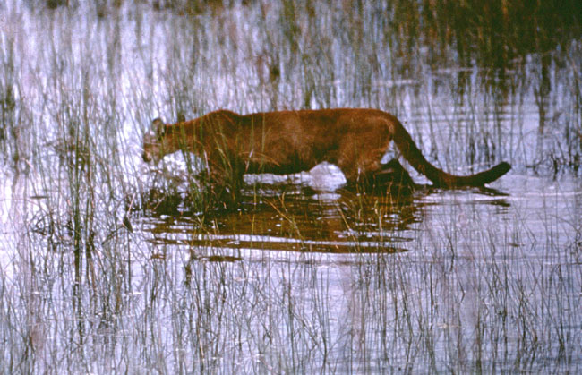 florida panther essay The florida panther (puma concolor coryi), is the most endangered mammal in the eastern us a population between 100-180 adults in southern florida is all that remains of this species that.
