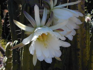 Flowering Trichocereus bridgesii