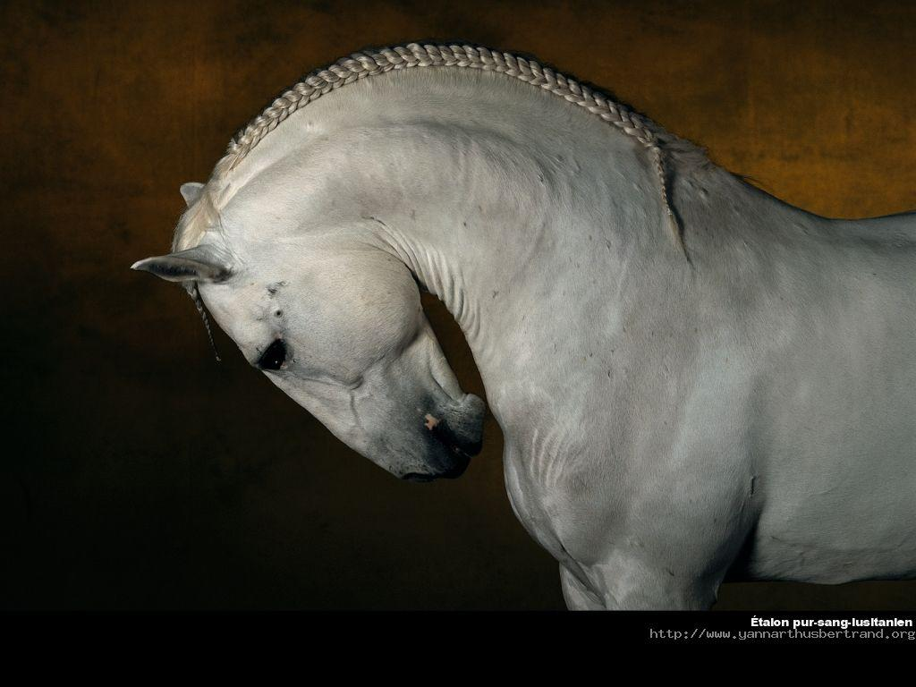 1000 images about cavalo lusitano portuguese lusitano for Fond ecran photo yann arthus bertrand