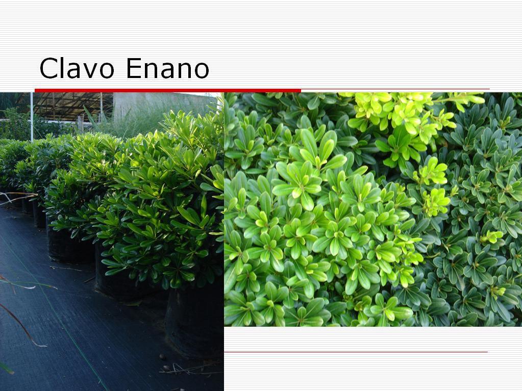 V i v e r o s d e l s u r vivero mayorista productor de for Arbustos enanos para jardin