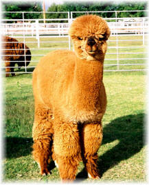 Alpacas:  They're like cute on steroids.