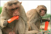 Monkeys-n-Popsicles