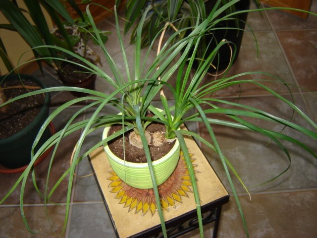 Ponytail Palm Root System http://houseplants-care.blogspot.ca/2006/06/ponytail-palm-plant-care.html