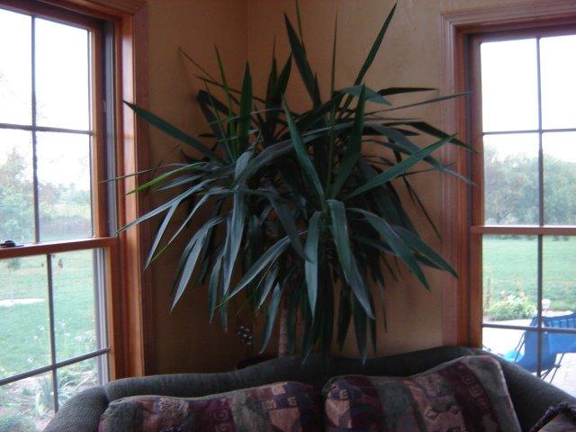 yucca plant care houseplant care tips. Black Bedroom Furniture Sets. Home Design Ideas