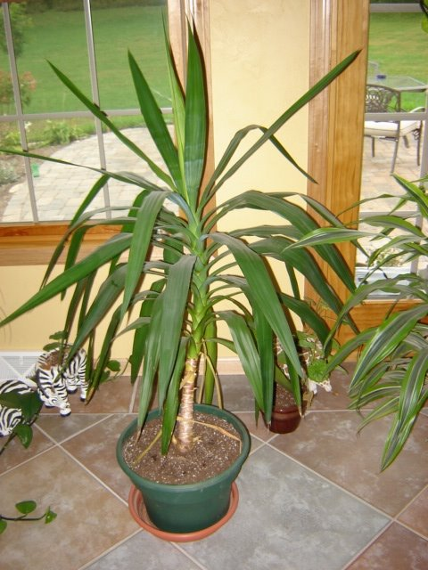 Yucca Plant Care - Houseplant Care Tips