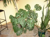 Spli Leafed Philodendron