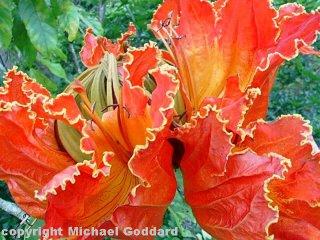 tulipa africana