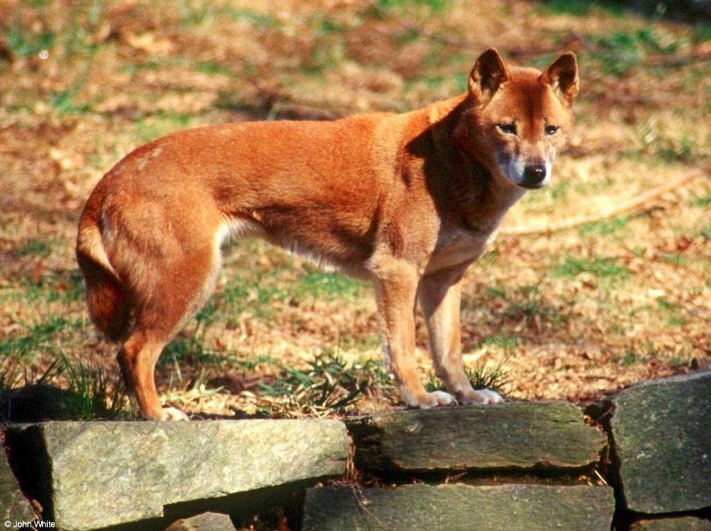 Anjing Yang Menyanyi CoretCoret