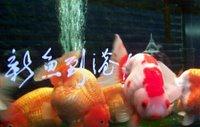 Goldfish Market - 2