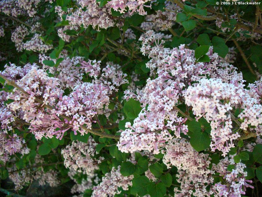 Lilac Tree Types - Bing images