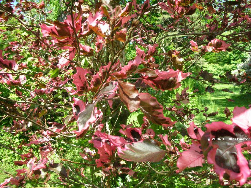 Tri color beech tree