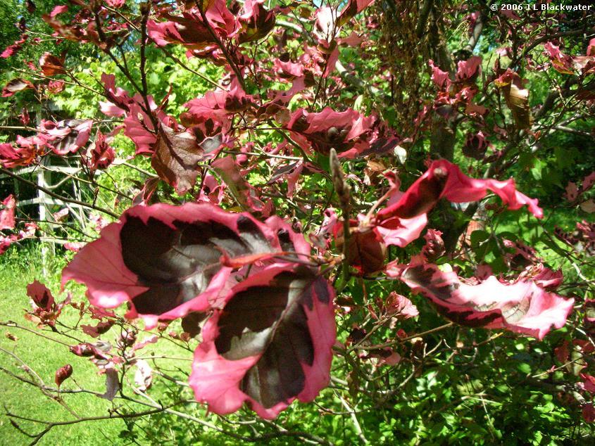 Arboreality tree blogging tri color beech tree