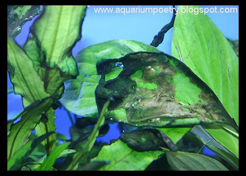 Aquarium Algae Id Updated May6th 39 10 Surface Skum Blue