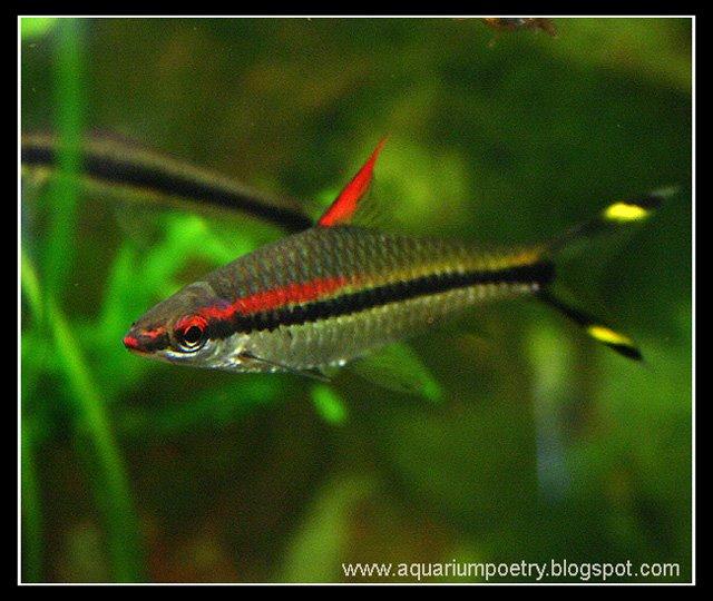 Aquarium Fish Gallery 2 Red Lined Torpedo Barb Denisonii Barb