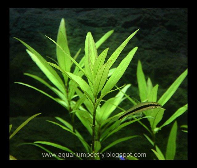 Hygrophila Angustifolia Aquarium in Open Aquariums Hygrophila