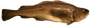 High mercury fish to avoid makan corner for Cod fish mercury