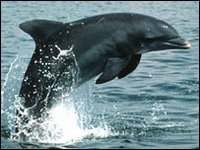 Dolphins were monitored in Sarasota Bay off Florida (Image: Randall Wells)