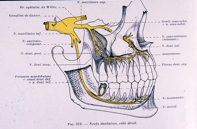 dental gross anatomy: trigeminal nerve
