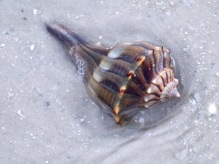 Shell on Fort Myers Beach, Photography by Troy Thomas, 24 February 2006