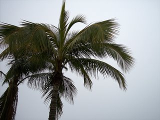 Palm Tree on Fort Myers Beach, Photography by Troy Thomas, 24 February 2006