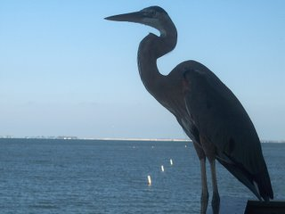 Great Blue Heron; Pier at Fort Myers Beach, Florida; Photography by Troy Thomas