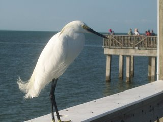 Snowy Egret; Pier at Fort Myers Beach, Florida; Photography by Troy Thomas