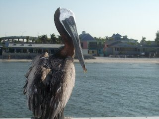 Brown Pelican; Pier at Fort Myers Beach, Florida; Photography by Troy Thomas