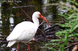 Ibis; Six Mile Cypress Slough Preserve in Fort Myers, Florida; Photography by Troy Thomas