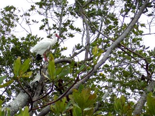 White Ibis, Lover's Key, Florida; Photography by Troy Thomas