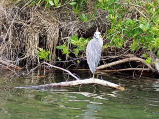 Yellow-crowned Night-Heron? Lover's Ket, Florida; Photography by Troy Thomas