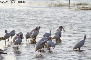 A flock of White Ibises at Lakes Park in Fort Myers, Florida; Photography by Troy Thomas