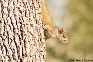 A squirrel peeking out from behind a tree at Lakes Park in Fort Myers, Florida; Photography by Troy Thomas