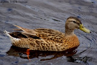 ©2006 Photography by Troy Thomas; mallard duck